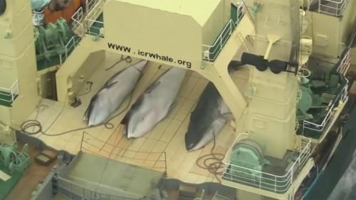 Pas de sanctuaire pour les baleines
