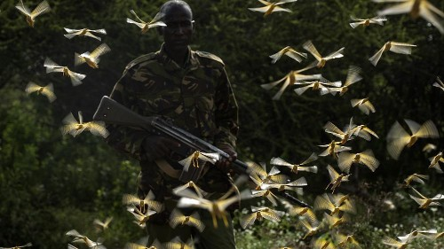 UN warns of humanitarian disaster if locust swarms aren't stopped