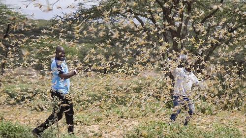 Les criquets pèlerins menacent l'agriculture kényane