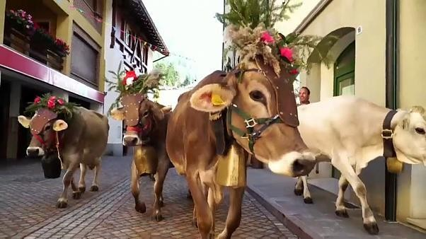 Watch: Fun in the Alpine sun, until the cows come home