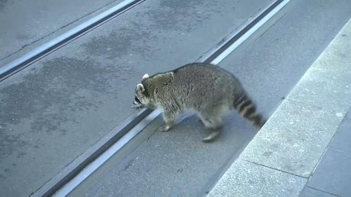 Raccoon shot dead in Germany after being spotted in 'drunken' state