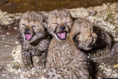 Hello, Babies! Cheetah Cubs Born In Prague Zoo Greet World With Ferocious Yawns