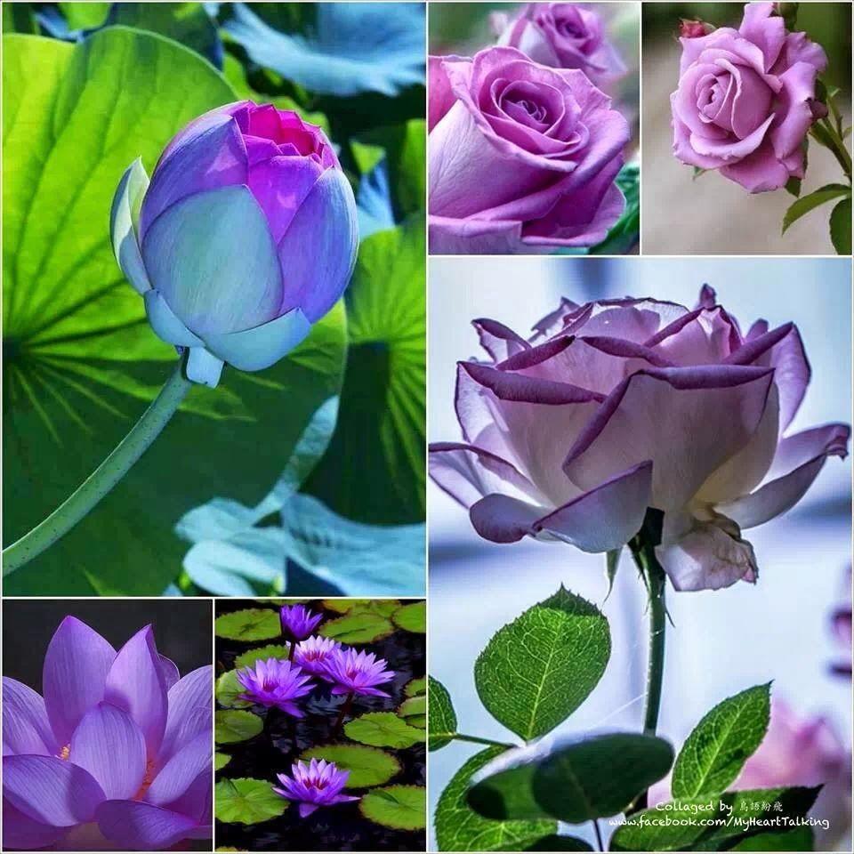 玫瑰花和蓮花各有各的美麗價值,紫色玫瑰代表珍貴,珍惜,珍惜的愛。藍紫色蓮花代表堅貞純潔,偷偷地愛慕,傳說紫色蓮花能使死人復活,終究是傳說而已。兩種紫色花朵卻是讓人賞心悅目。103.03.27.夜撰文分享~新北中和~