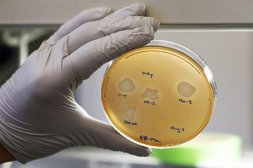 Using 1 germ to fight another when today's antibiotics fail