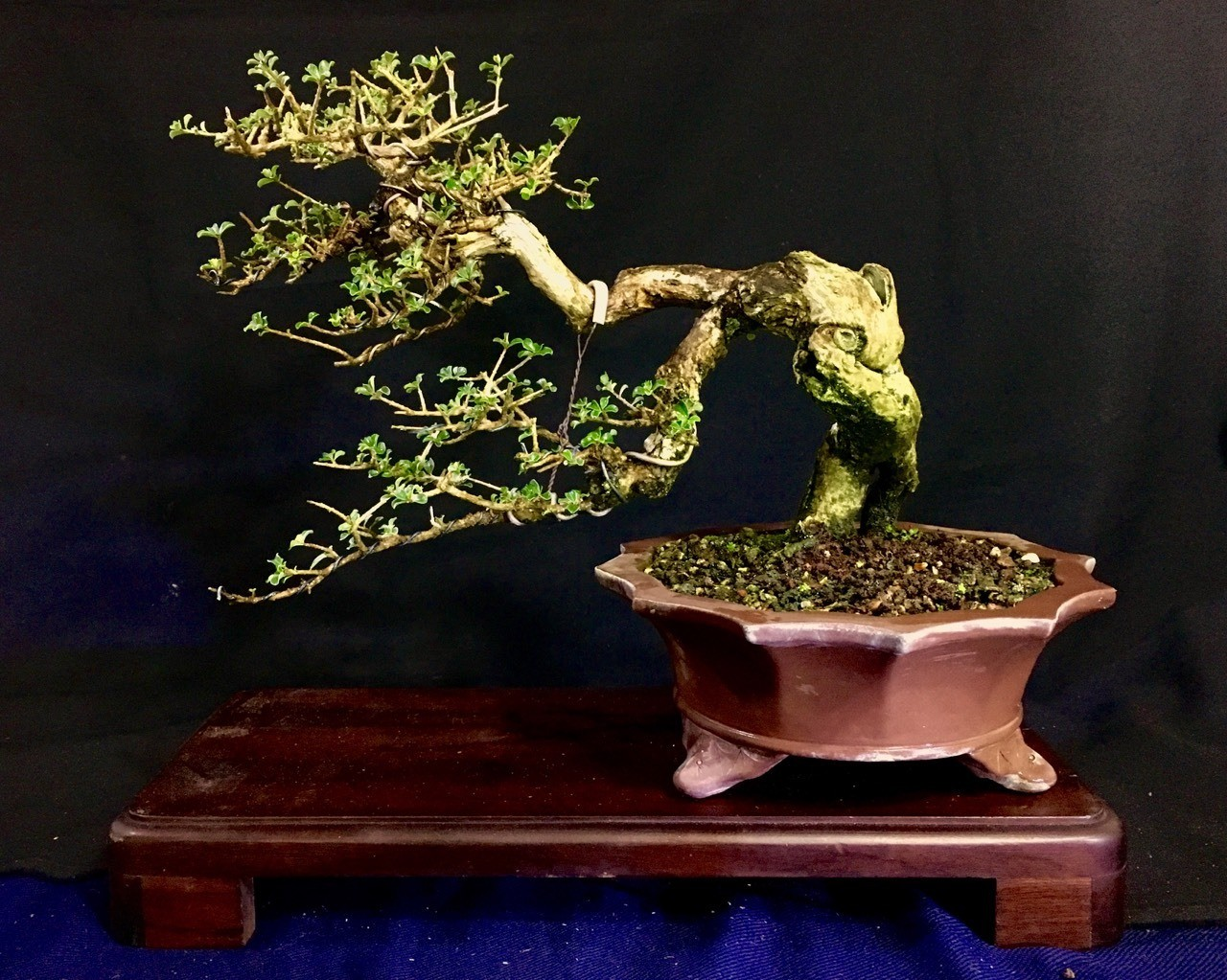 Tabebuia macrophylla