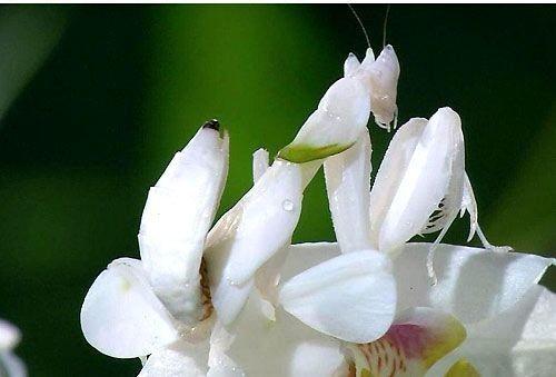 白色螳螂。