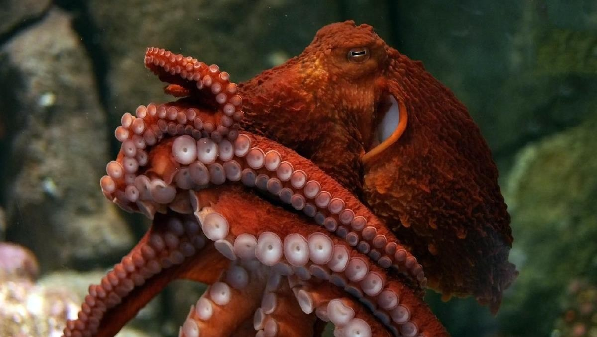 Big beautiful Pacific Octopus