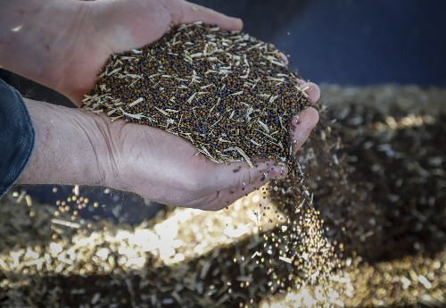 China stops purchase of Canadian canola seeds