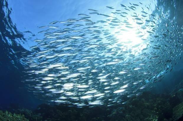 Where did all the sardines go?