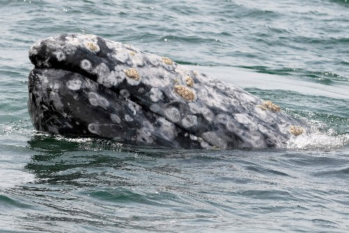 Gray whale deaths on West Coast may be linked to Arctic warmth