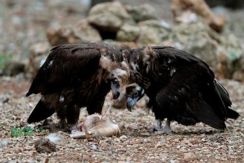 One tough bird: vulture's genes help it thrive on rotting flesh
