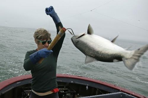 California sails toward biggest salmon harvest in years