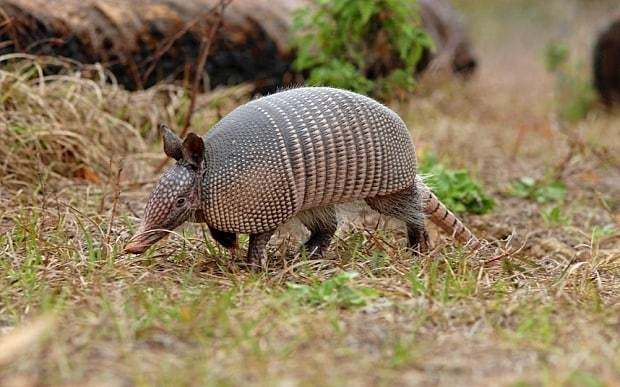 Bullet bounces off armadillo and puts triggerhappy Texan in hospital