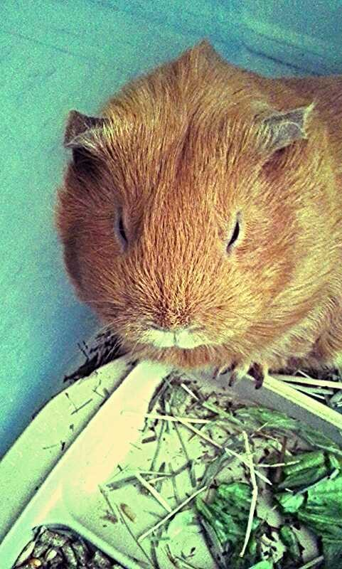 Cavies have the cutest faces caught her waking up