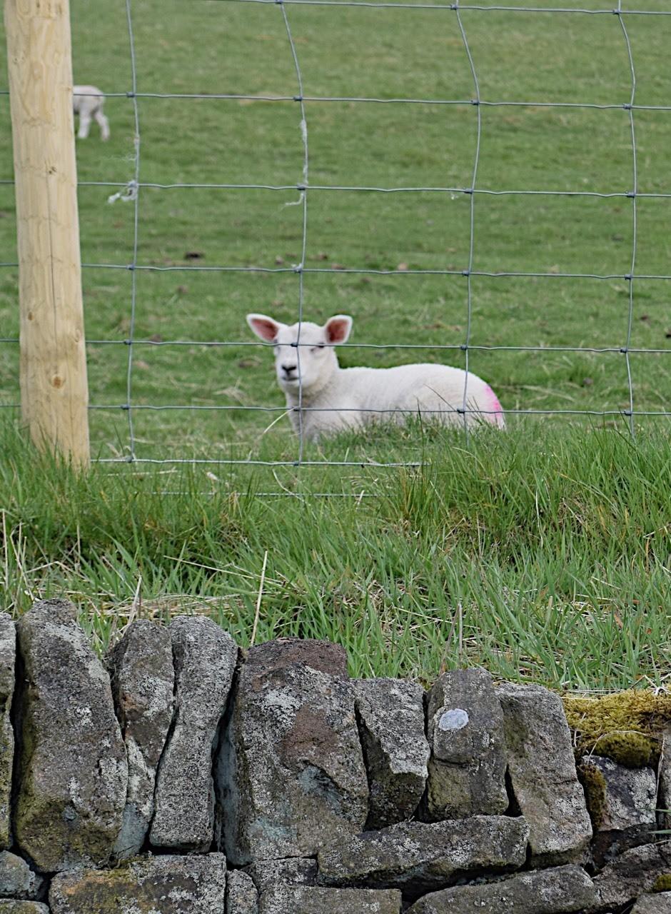 Peak lamb