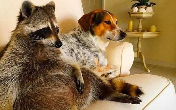 Meet Pumpkin: This adorable orphaned raccoon thinks it's a dog
