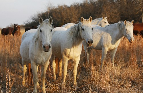 Some horse advocates buck at new plan to save wild mustangs