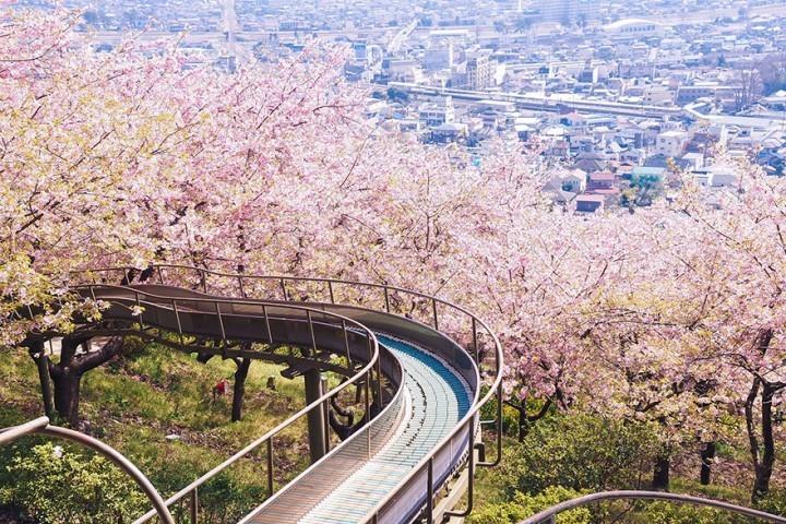 هذه الأزهار والأشجار في اليابان تنمو في الربيع