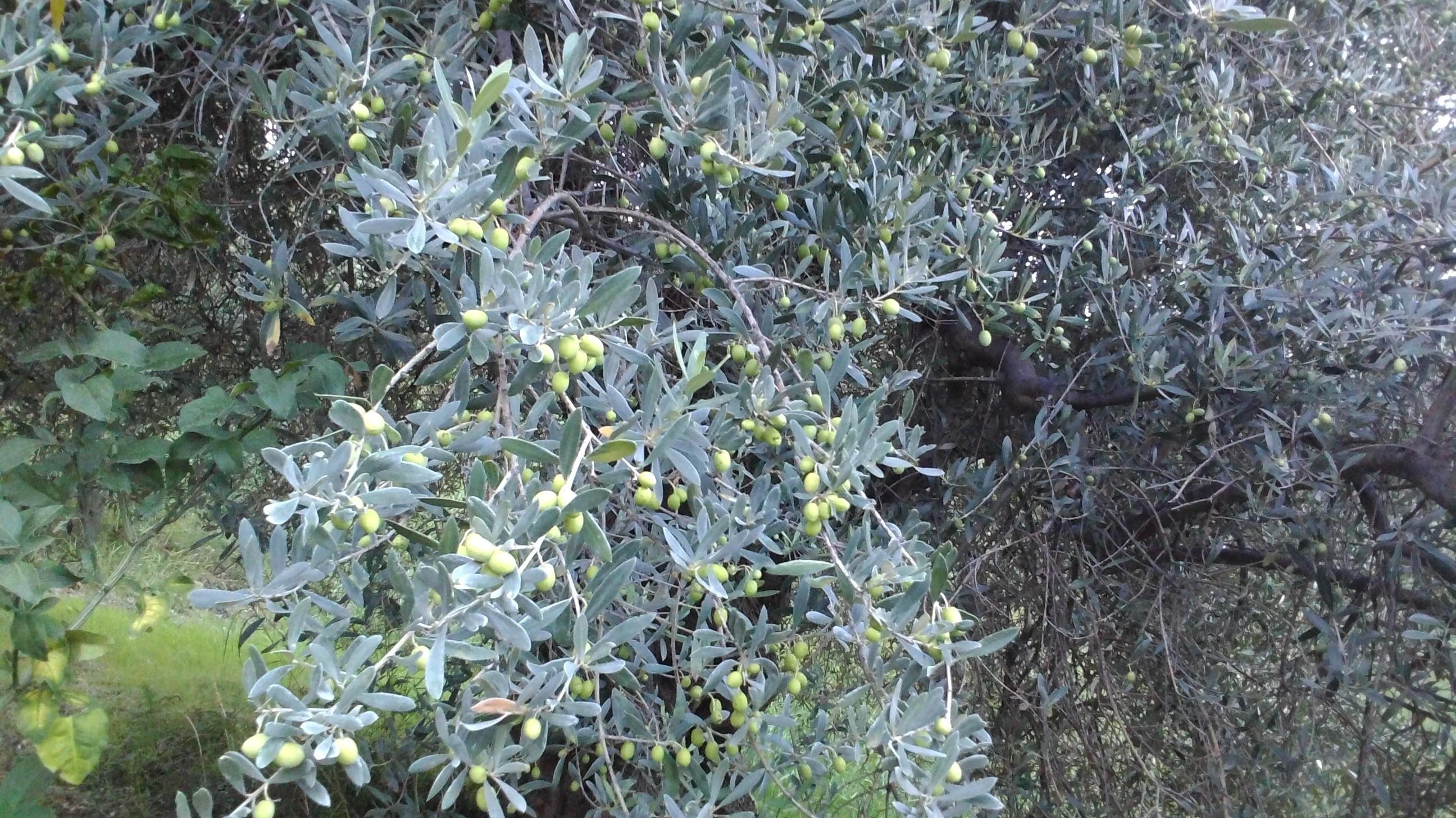 olive quasi pronte per la raccolta