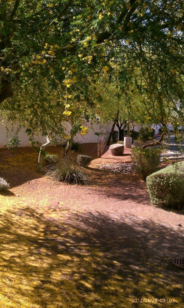 Spring time in Arizona is always a thing to watch when these leaves fall the summer heat is close behind # Palo Verde