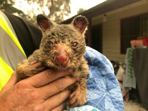 Koalas, wallabies endangered by Australia bushfires 'ecological disaster'