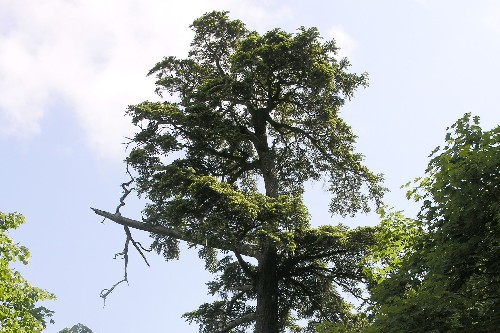 First New Species of Temperate Conifer Tree Discovered in More Than a Decade
