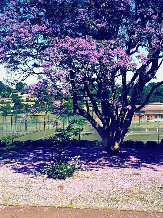 Jacaranda tree in bloom.