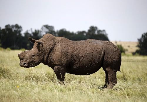 نفوق أربعة من ستة من حيوان وحيد القرن الأسود النادر بعد نقلها لتشاد