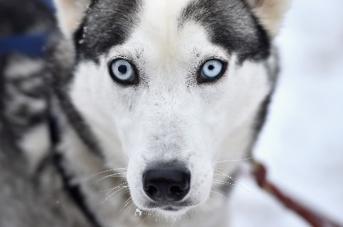 Siberian Huskies Prep for Sled Dog Rally: Pictures
