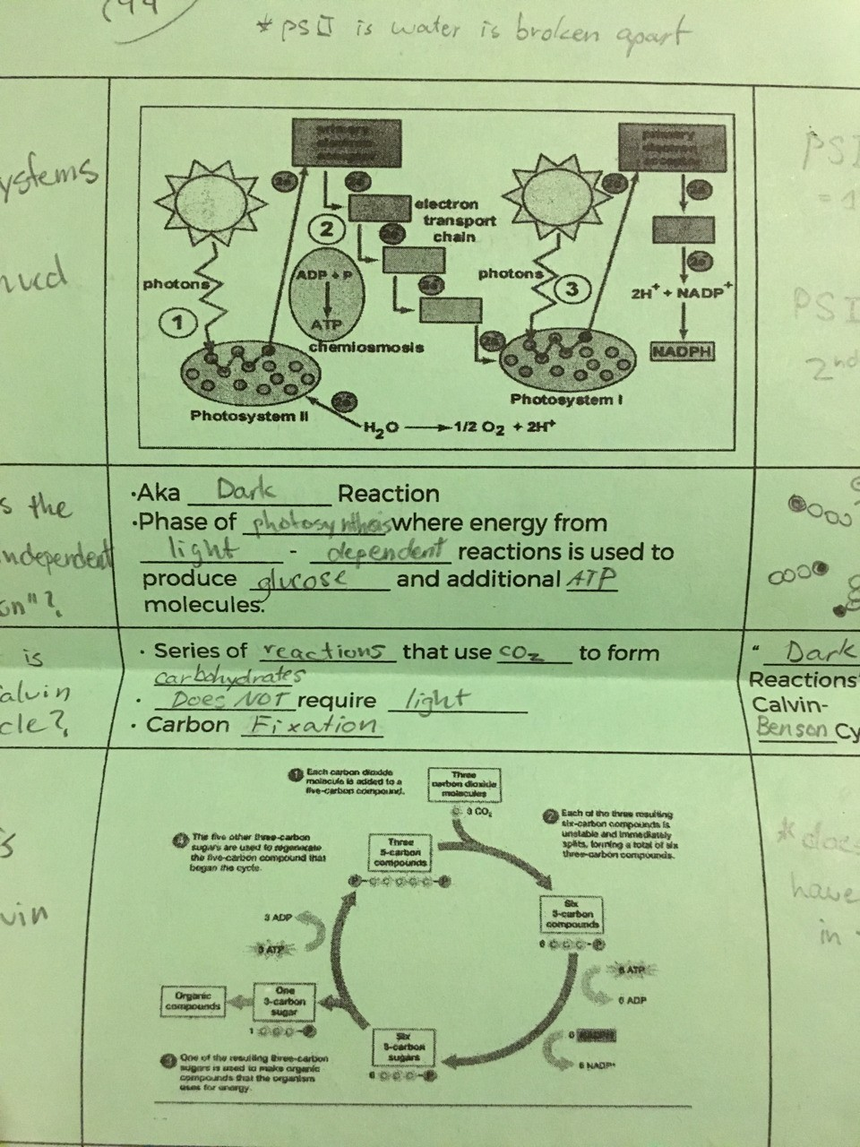 Light dependent reactions and Calvin Cycle