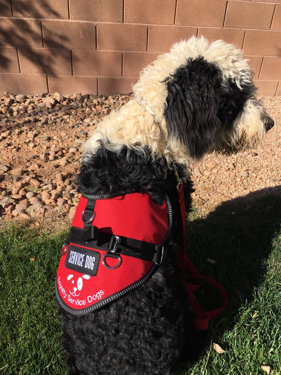 Sheepadoodle service dog in training Mr.Winston sending a few pictures to his boy Matty!