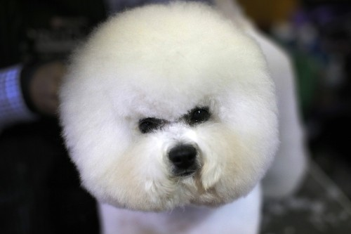 Backstage at the Westminster Dog Show: Pictures
