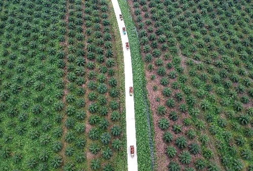 Indonesia to push back palm replanting target beyond 2025