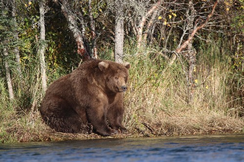 And the fattest bear in Alaska is ... 409 Beadnose