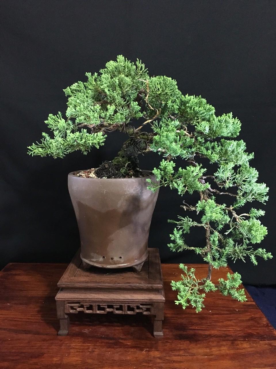 Juniper procumben