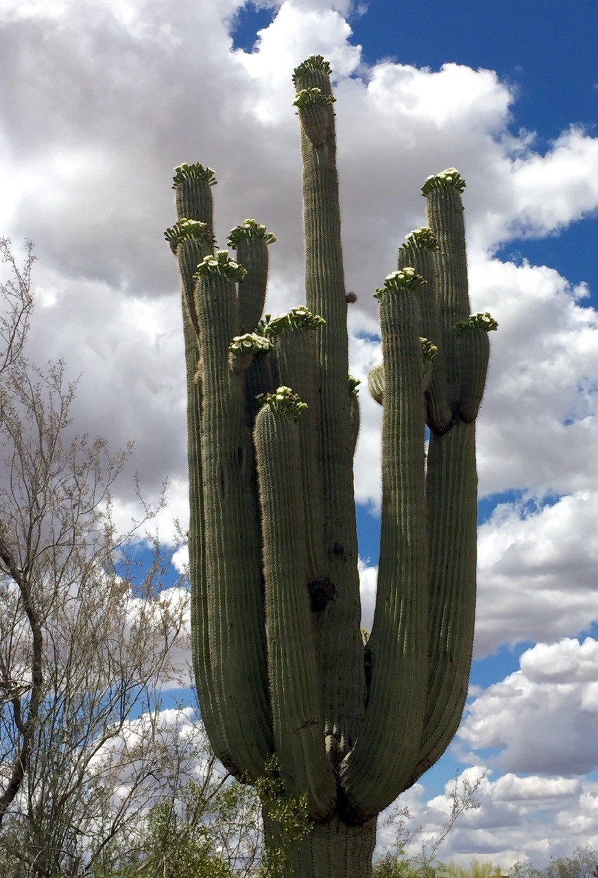 Saguaro Cactus Only found in the Sonoran Desert
