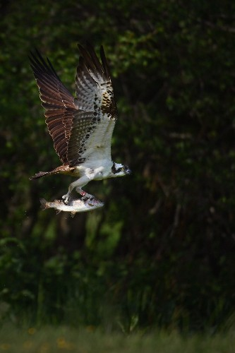 Annual Osprey Migration to Scotland: Pictures