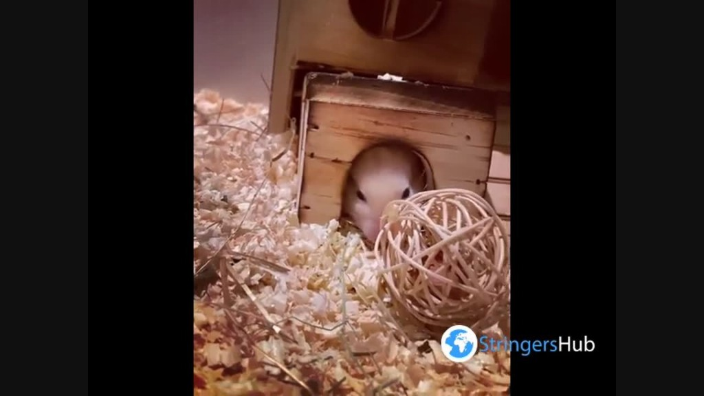 Adorable hamster fails to bring a ball with nuts into his tiny home