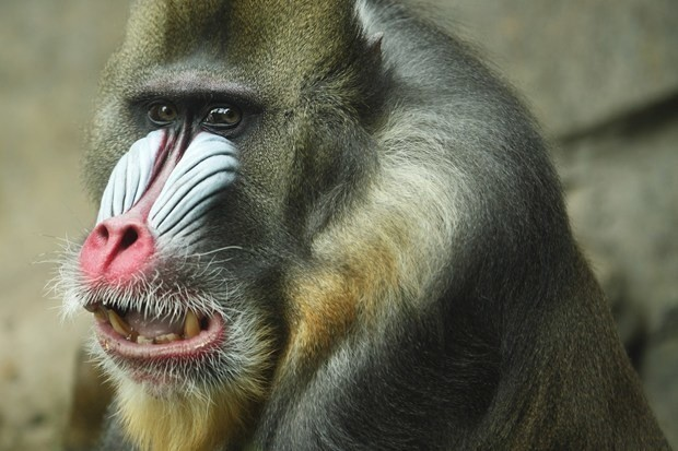 Pig heart kept alive inside baboon's abdomen for two years