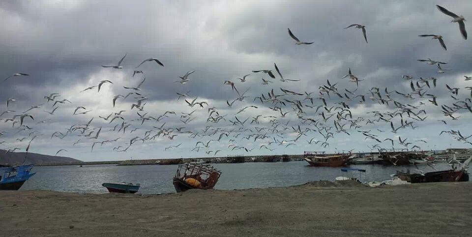 طيور النورس في بحيرة البرلس.
