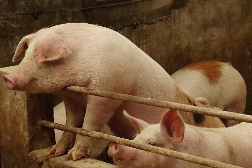 U.S. to begin testing sick, dead pigs for fatal hog virus ravaging China