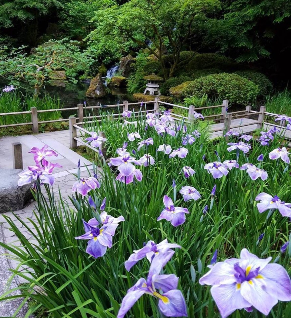 Irises in bloom. Portland Japanese Garden