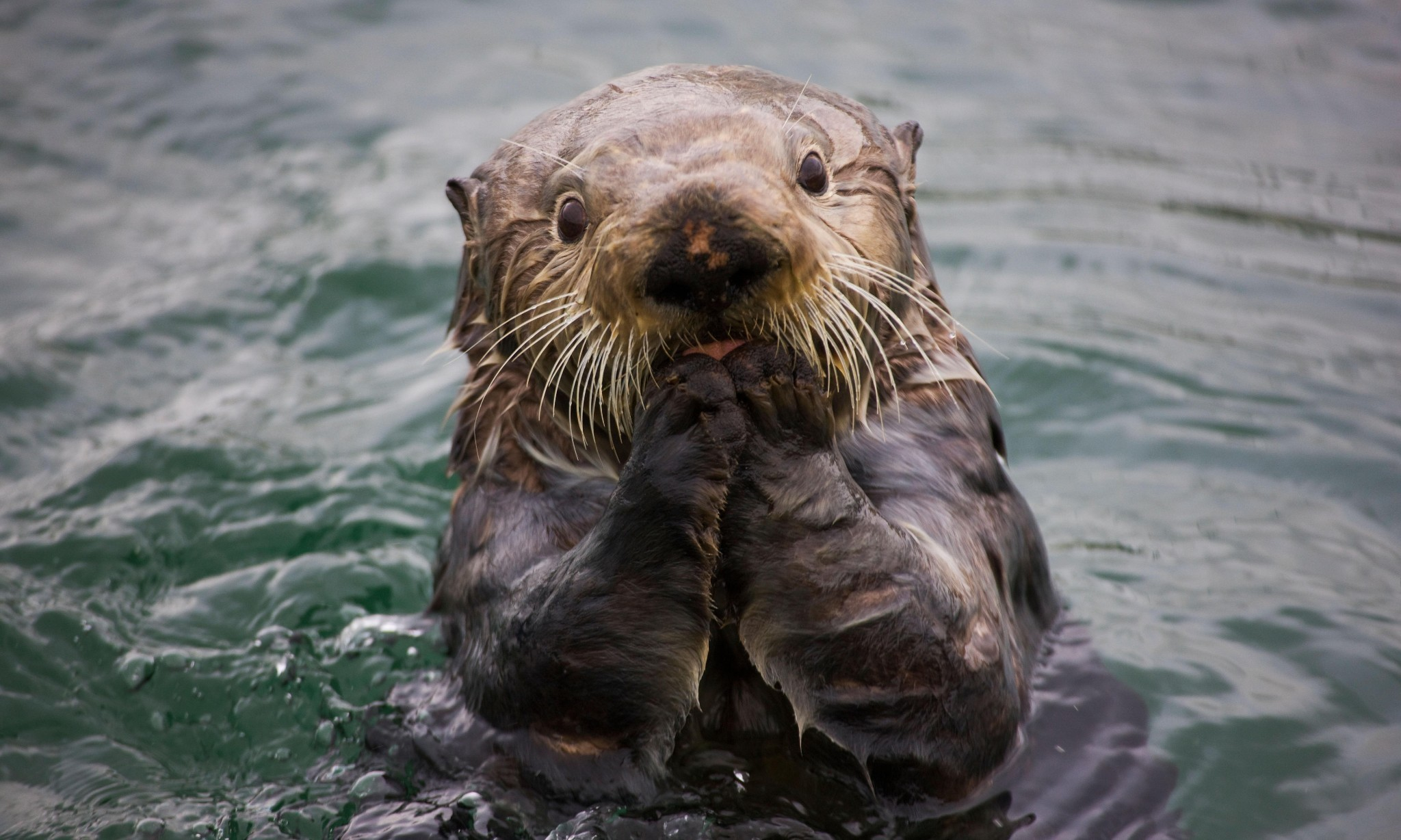 How sea otters help save the planet