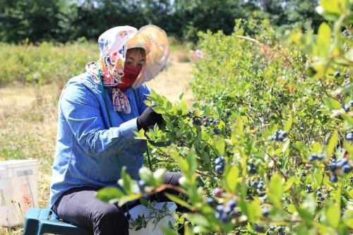 China money, market spur Canadian blueberry deluge