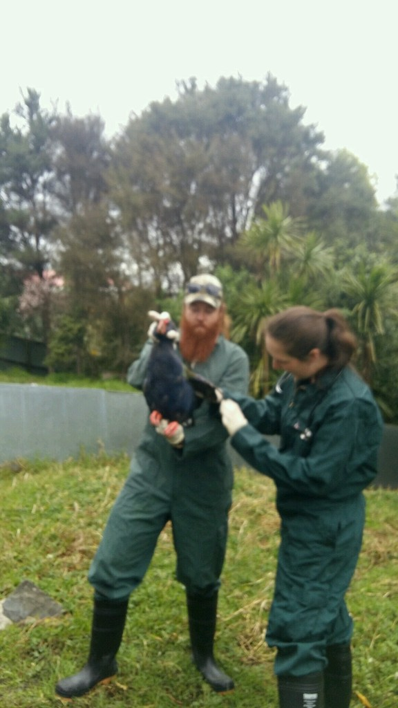 Takahe Recovery Programme - Magazine cover