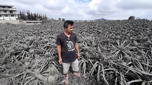 Gray pineapples: Volcano devastates Philippines farm