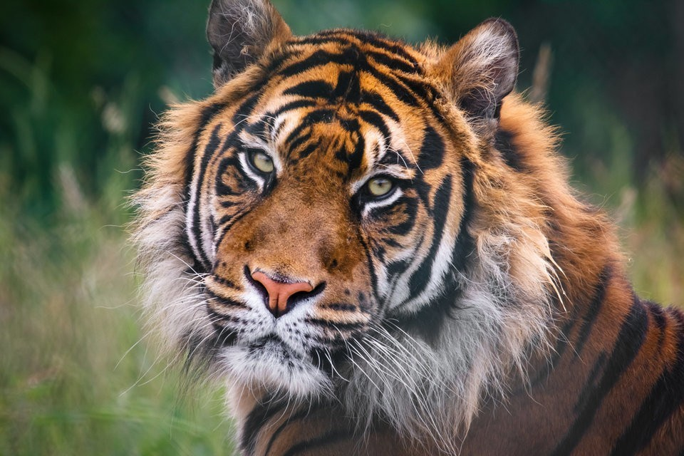For The First Time In A Century, Wild Tiger Numbers Are On The Rise