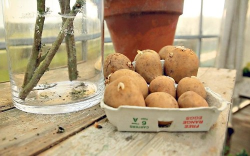 How to grow and chit potatoes