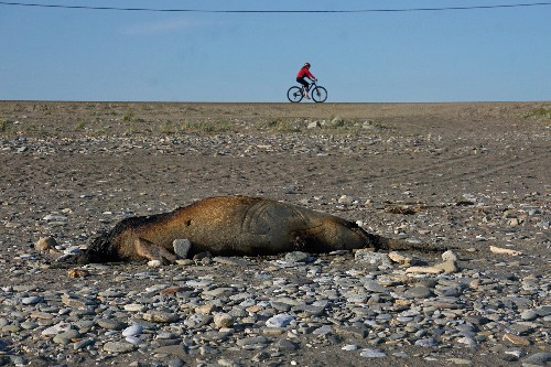 Alaska seal die-off spurs government investigation