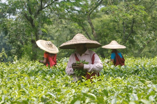 India's October tea output drops 3.7 Percent